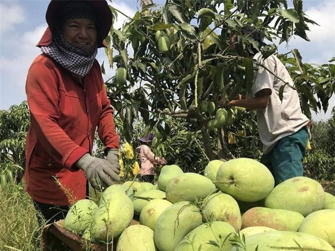 Xoài Việt Nam đã có mặt ở thị trường khó tính như Mỹ