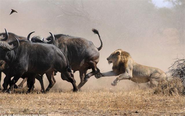 Sau đó, một trong hai con sư tử đực liền lao tới tấn công nhằm làm bầy trâu hoảng loạn.