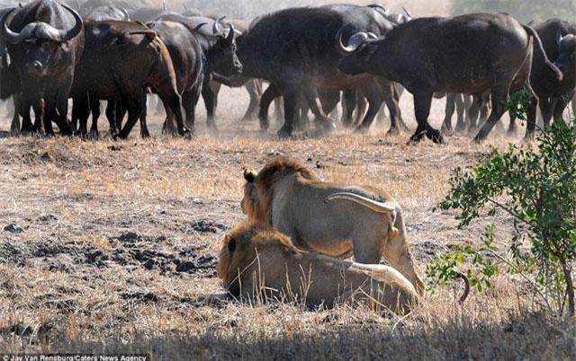 Phải mất khá nhiều thời gian rình mồi, hai con sư tử đực mới chọn được mục tiêu. Đó chính là chú trâu rừng con vừa được vài tháng tuổi.