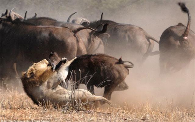 Sau đó, chúng cố gắng cắn chặt vào cổ con mồi nhằm nhanh chóng kết liễu tính mạng của chú trâu rừng con.