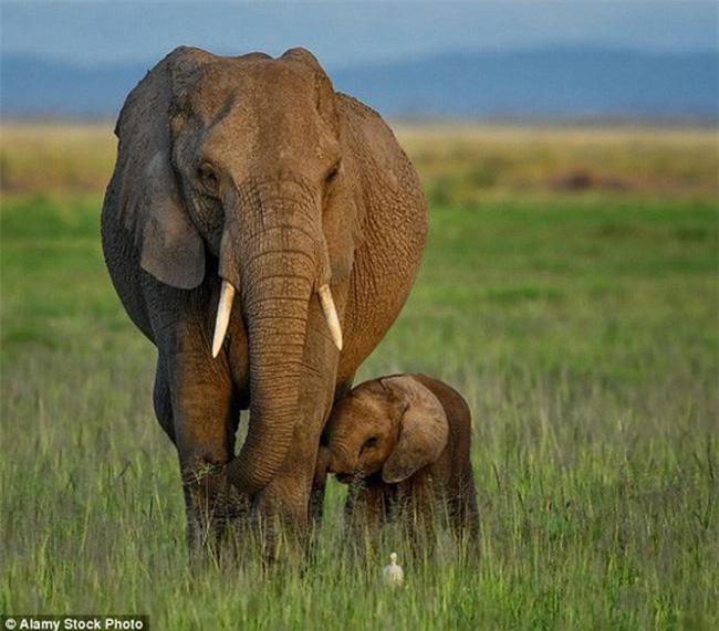 Nghiên cứu gần đây cho thấy loài voi đang tiến hóa tới dạng không mọc ngà sau nhiều năm bị săn lấy ngà. (Ảnh: Alamy)