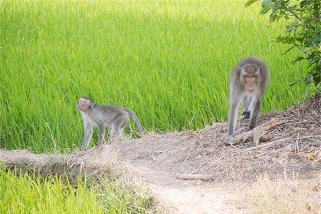 Tiếp tục tìm bắn con khỉ hoang cắn 2 bé trai - 1