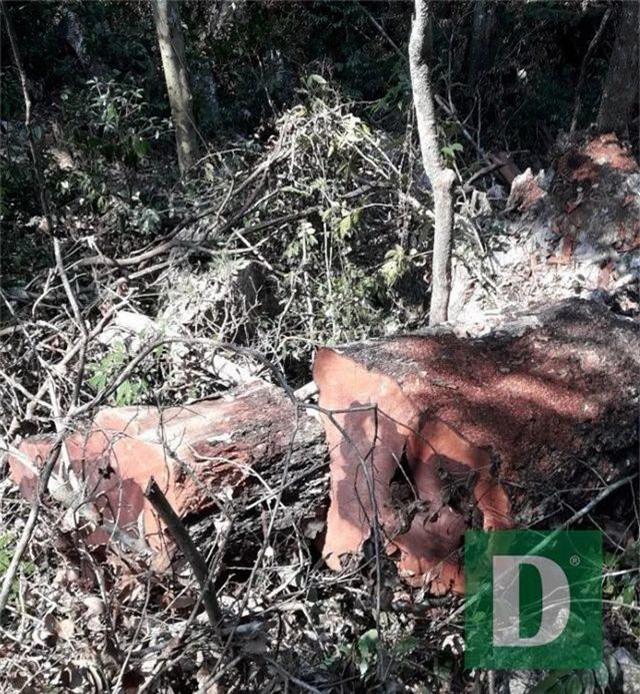 Rừng gỗ quý ở Phong Nha - Kẻ Bàng bị phá chỉ cách đồn biên phòng... 1km - 1
