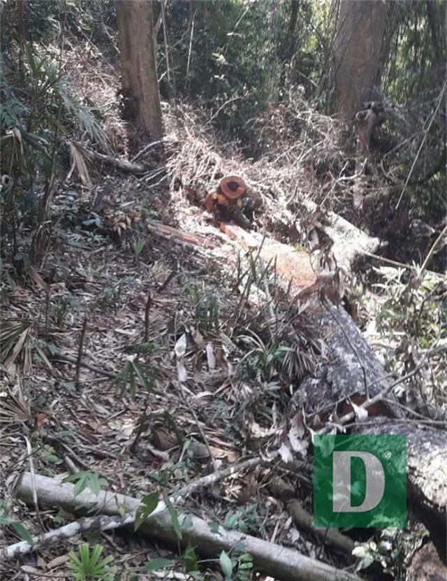 Rừng gỗ quý ở Phong Nha - Kẻ Bàng bị phá chỉ cách đồn biên phòng... 1km - 5