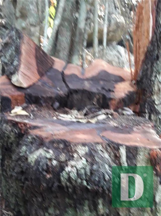 Rừng gỗ quý ở Phong Nha - Kẻ Bàng bị phá chỉ cách đồn biên phòng... 1km - 9