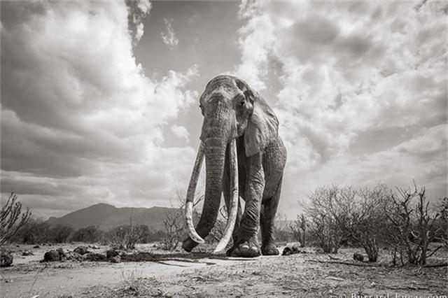 """Những hình ảnh cuối cùng về """"voi nữ hoàng"""" có đôi ngà khổng lồ ở Kenya - Ảnh 1."""