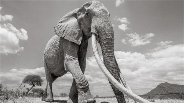 """Những hình ảnh cuối cùng về """"voi nữ hoàng"""" có đôi ngà khổng lồ ở Kenya - Ảnh 10."""