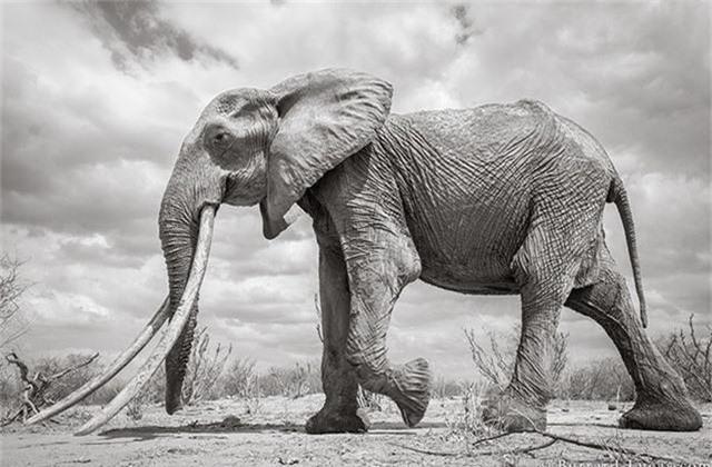 """Những hình ảnh cuối cùng về """"voi nữ hoàng"""" có đôi ngà khổng lồ ở Kenya - Ảnh 2."""