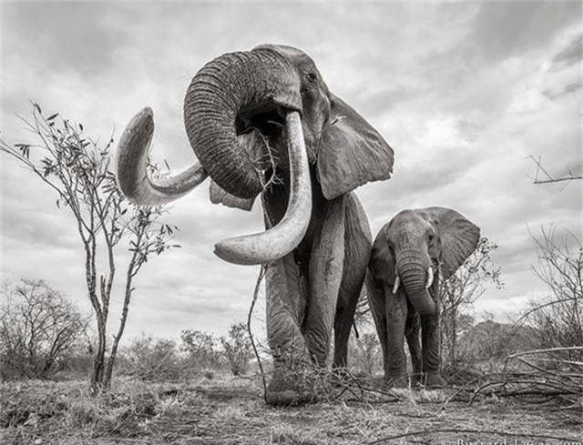 """Những hình ảnh cuối cùng về """"voi nữ hoàng"""" có đôi ngà khổng lồ ở Kenya - Ảnh 3."""