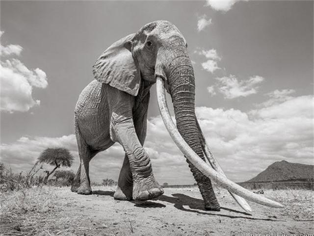 """Những hình ảnh cuối cùng về """"voi nữ hoàng"""" có đôi ngà khổng lồ ở Kenya - Ảnh 4."""