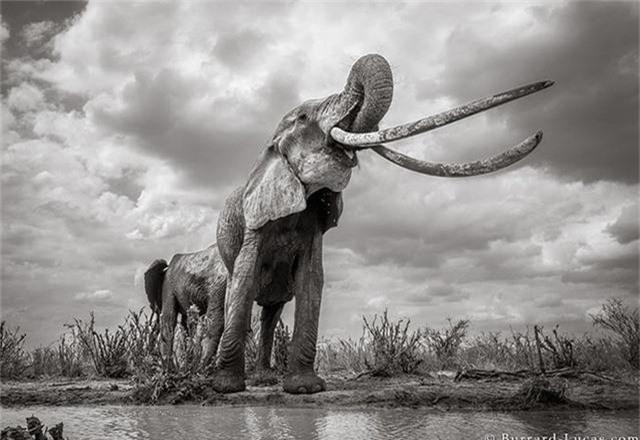 """Những hình ảnh cuối cùng về """"voi nữ hoàng"""" có đôi ngà khổng lồ ở Kenya - Ảnh 5."""