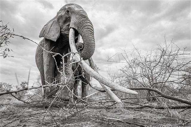 """Những hình ảnh cuối cùng về """"voi nữ hoàng"""" có đôi ngà khổng lồ ở Kenya - Ảnh 6."""