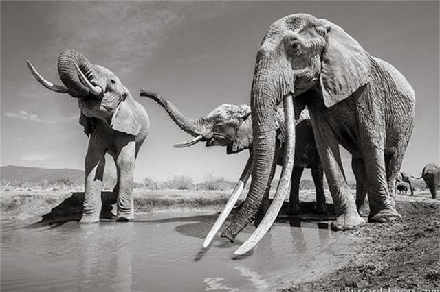 """Những hình ảnh cuối cùng về """"voi nữ hoàng"""" có đôi ngà khổng lồ ở Kenya - Ảnh 7."""