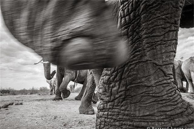 """Những hình ảnh cuối cùng về """"voi nữ hoàng"""" có đôi ngà khổng lồ ở Kenya - Ảnh 9."""