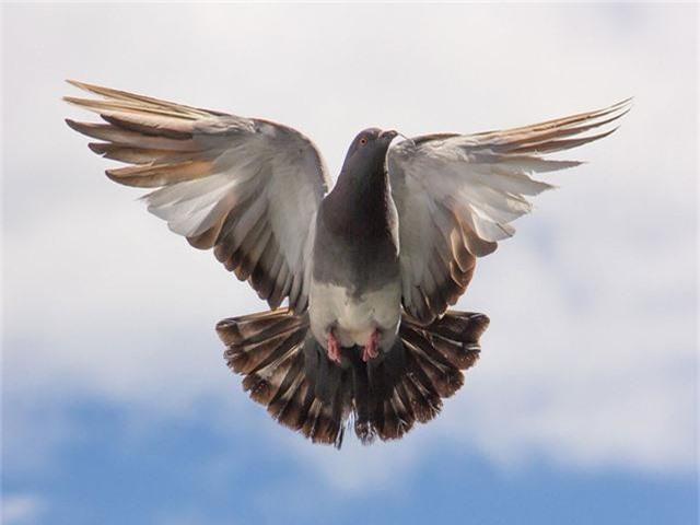 Chim bồ câu giá 1,4 triệu USD - Ảnh 1.