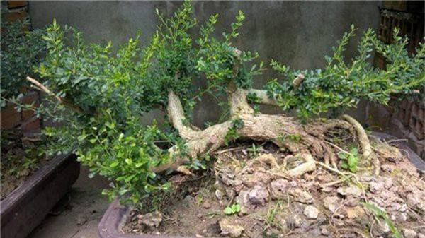 Sam nui bonsai cay cuc quy hiem lai con la cay thuoc o mien Trung-Hinh-2