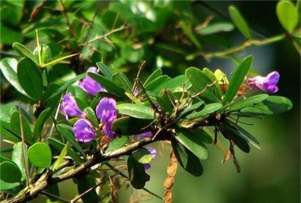 Sam nui bonsai cay cuc quy hiem lai con la cay thuoc o mien Trung-Hinh-5