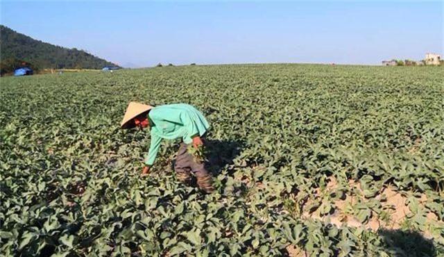 Côn đồ trắng trợn đòi bảo kê, cướp bát cơm nông dân nghèo tại Phú Yên! - 1