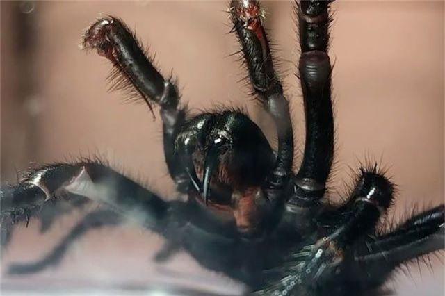 Nọc độc của nhện có thể bảo vệ nạn nhân đột quỵ chống lại tổn thương não - 1