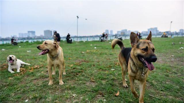 Nhiều người dân Hà Nội quen thả rông chó không rọ mõm - 1