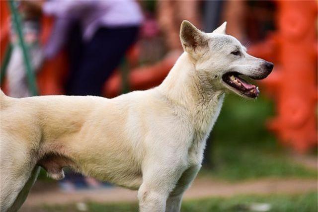 Nhiều người dân Hà Nội quen thả rông chó không rọ mõm - 4