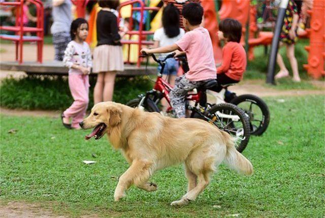 Nhiều người dân Hà Nội quen thả rông chó không rọ mõm - 5