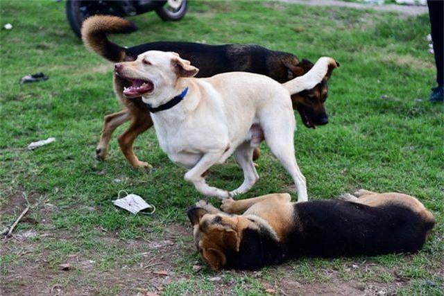 Nhiều người dân Hà Nội quen thả rông chó không rọ mõm - 6