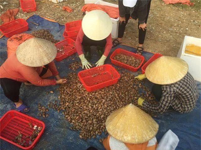 Ngư dân Hà Tĩnh phấn khởi vì trúng đậm sò lụa - 2