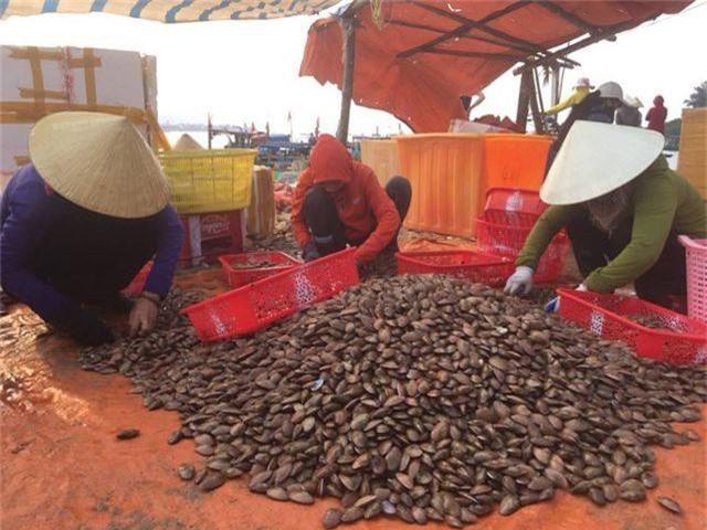 Ngư dân Hà Tĩnh phấn khởi vì trúng đậm sò lụa - 8