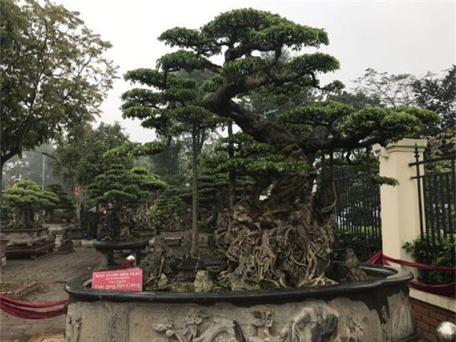 Chiêm ngưỡng cây sanh hàng trăm tuổi có giá triệu đô ở Hưng Yên - 1