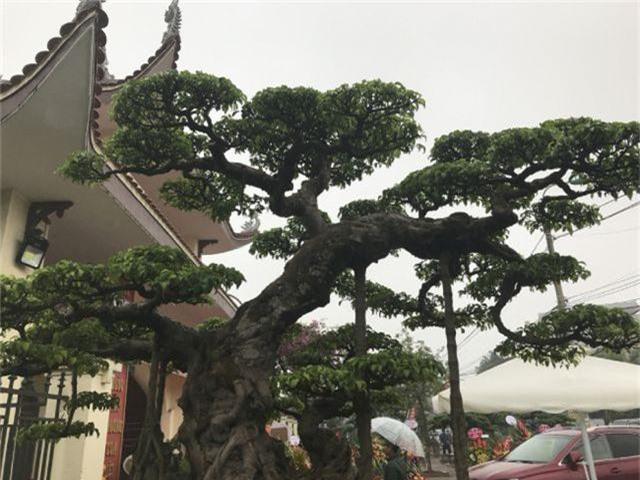 Chiêm ngưỡng cây sanh hàng trăm tuổi có giá triệu đô ở Hưng Yên - 10