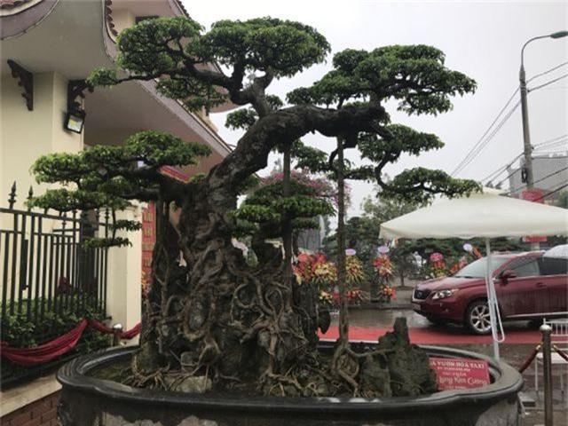 Chiêm ngưỡng cây sanh hàng trăm tuổi có giá triệu đô ở Hưng Yên - 13