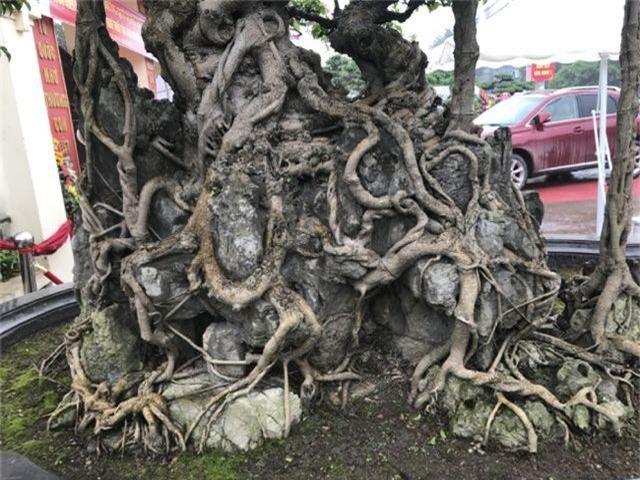 Chiêm ngưỡng cây sanh hàng trăm tuổi có giá triệu đô ở Hưng Yên - 14
