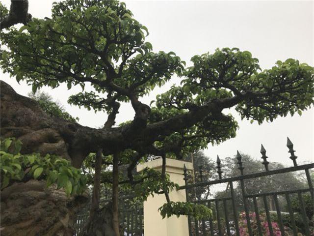 Chiêm ngưỡng cây sanh hàng trăm tuổi có giá triệu đô ở Hưng Yên - 6