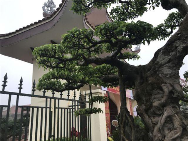 Chiêm ngưỡng cây sanh hàng trăm tuổi có giá triệu đô ở Hưng Yên - 7