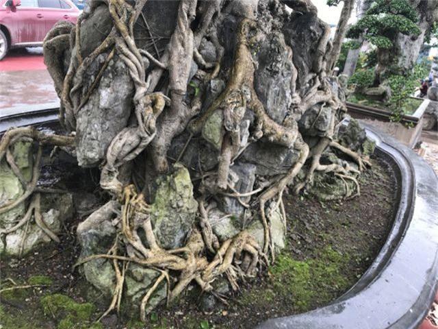 Chiêm ngưỡng cây sanh hàng trăm tuổi có giá triệu đô ở Hưng Yên - 8