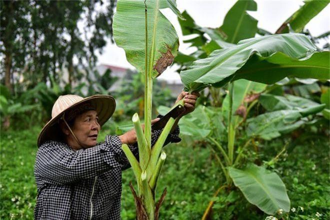 Gặp người phụ nữ hơn 35 năm hái lá chuối mưu sinh - 6
