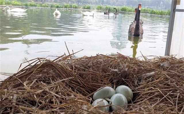 Đàn thiên nga được nuôi ở hồ Thiền Quang đã đẻ gần 20 quả trứng - 5