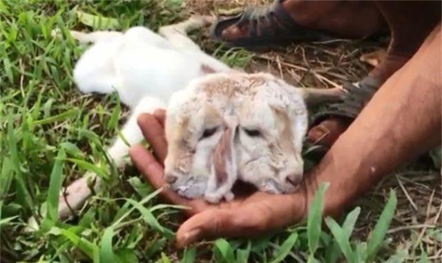 Đàn thiên nga được nuôi ở hồ Thiền Quang đã đẻ gần 20 quả trứng - 9