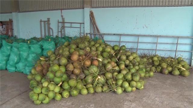 Nắng nóng kỷ lục, dừa xiêm xanh tăng giá - Ảnh 2.