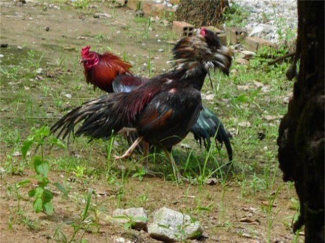 Truy bắt nhóm đối tượng bắn người tại trường gà - 1