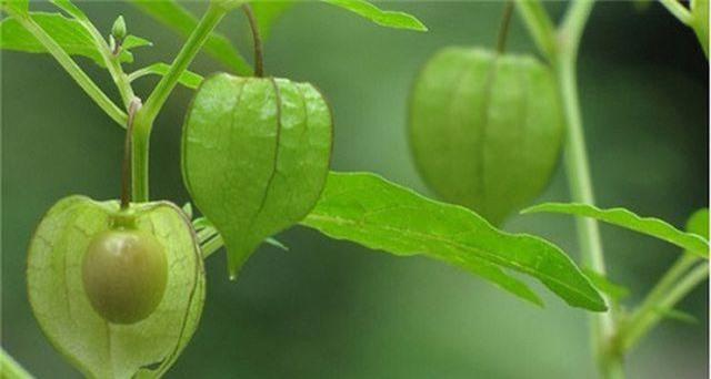 """5 loại cây mọc hoang tại Việt Nam, sang nước ngoài trở thành """"thần dược"""" đắt giá - 2"""