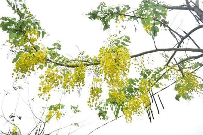 Mùa muồng hoàng yến vàng rực một góc trời Hà Nội - 10