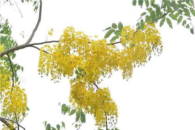 Mùa muồng hoàng yến vàng rực một góc trời Hà Nội - 11