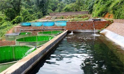 Mô hình ao nuôi cá tầm phát huy được điều kiện nguồn nước lạnh dồi dào chảy từ núi cao của Bình Liêu.
