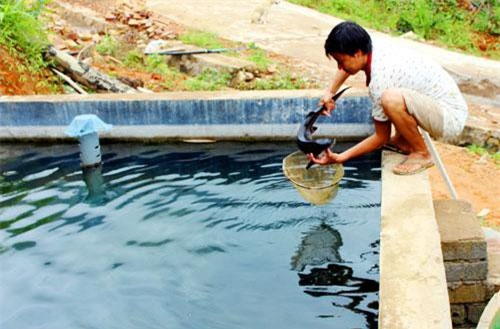 Cá tầm Siberi được nuôi ở bản Khe Tiền (xã Đồng Văn, huyện Bình Liêu, tỉnh Quảng Ninh).