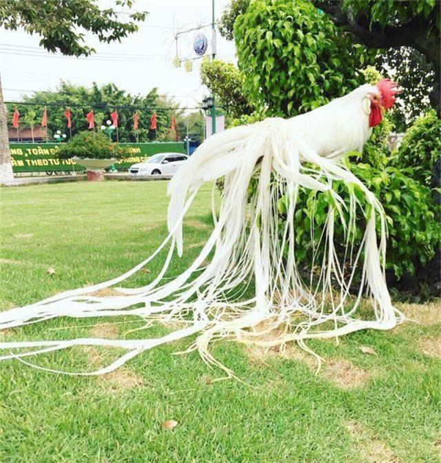 Gà quý tộc trắng toát: Đuôi dài 2 mét, giá 100 triệu đồng - 3