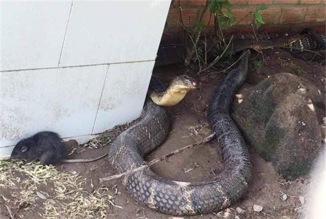 """An Giang """"cầu cứu"""" Bộ Nông nghiệp tìm chỗ ở mới cho cặp rắn hổ mang chúa - 1"""