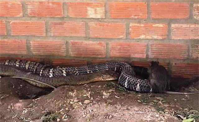 """An Giang """"cầu cứu"""" Bộ Nông nghiệp tìm chỗ ở mới cho cặp rắn hổ mang chúa - 2"""
