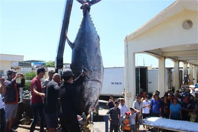 """Ngư dân Phú Yên câu được 2 con cá ngừ vây xanh """"siêu khủng"""" tổng trọng lượng gần 600kg - 1"""